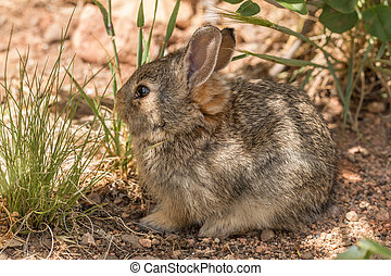 Young Cottontail Rabbit - a cute young cottontail rabbit