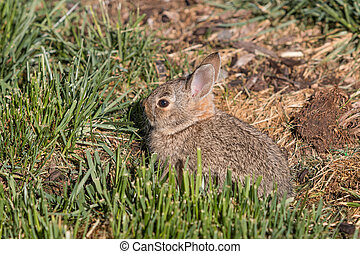 Cute Young Cottontail Rabbit - a cute young cottontail...