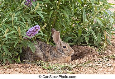 Cottontail Rabbit - a cute cottontail rabbit