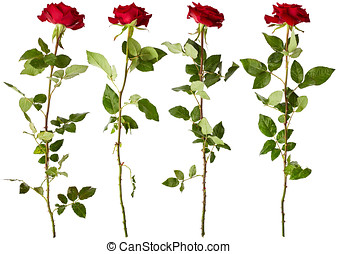 Red roses - Set of red roses isolated on white background