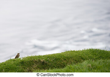 Meadow pipit, Anthus pratensis with food on grass on the...