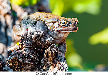 Closeup Of Sonoran Desert Toad On Rock - Closeup of Sonoran...