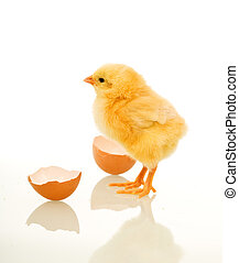 Spring chicken with egg shell