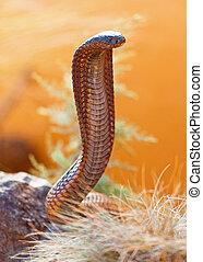 Venomous Cobra On Rock - Closeup of venomous cobra on rock