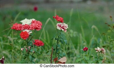 """Red and White Carnation Flowers - """"Red and White Carnation..."""