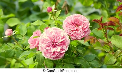 Pink Roses Blowing in the Wind