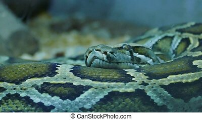 Indian Python Snake. A great piece of stock in 4k...