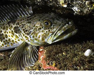 Juvenile Lingcod - A juvenile Lingcod photographed at a...
