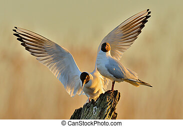 Two gulls sitting on a old log in sunrise light -...