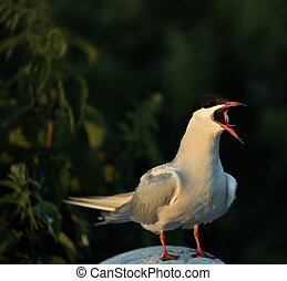 Flitting The Common Tern (Sterna hirundo)./ The Common Tern...