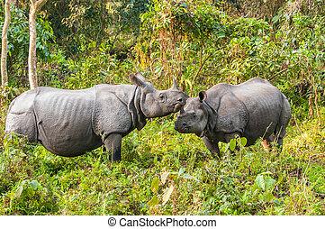 Rhino couple at Jaldapara - One horned Rhinoceros couple...
