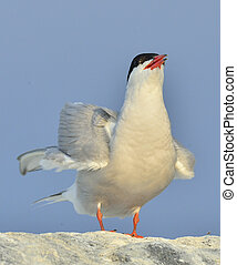 Close up The Common Tern (Sterna hirundo) on natural blue...