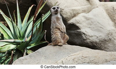 suricate standing and looking around - The Meerkat or...