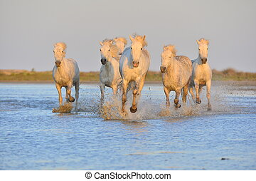 White Camargue Horses running on the blue water in sunset...