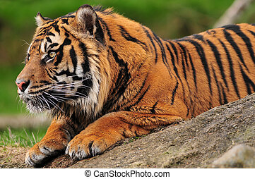 Tiger on a rock - Closeup side portrait of a tiger crouching...