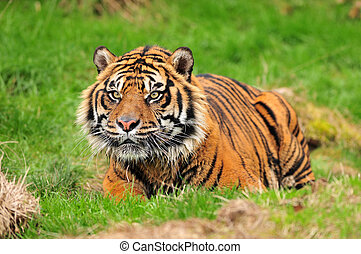 Tiger crouching for hunt