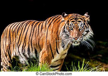 Tiger in dark background