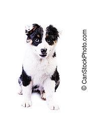 Cute Texas Heeler Puppy - Cute Texas Blue Heeler (a cross...