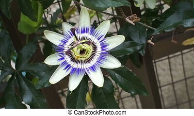 Passion Fruit Flower Handheld - Handheld closeup shot of a...