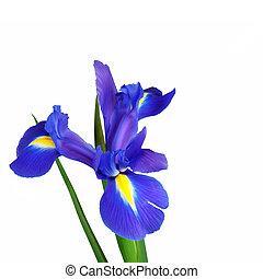 Iris Flower Beauty - Blue iris flower isolated over white...