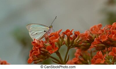 white butterfly feeds on a flower and then fly - A white...