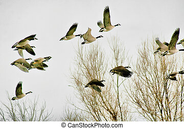 A flock of Canadian geese taking flight