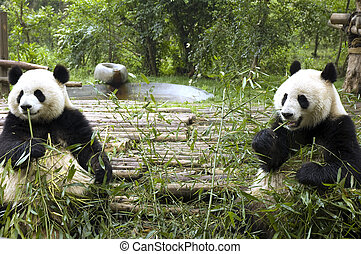 panda feeding in chengdu zoo
