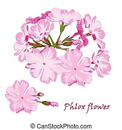 Set of flowers pink phlox in realistic hand-drawn style...