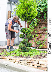 Arborvitae, Thuja or boxwood. - Gardeners in front of a...