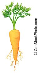 Fresh carrot with leaves and root