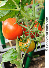 Fresh growing tomatoes - Branch of red tomatoes closeup