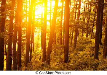 Pine forest with golden sunlight - Pine forest with the last...