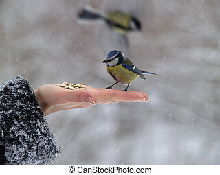 Titmouse bird in hand - Small titmouse bird in women\'s hand...