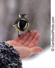 Titmouse bird in hand - Small titmouse bird in womens hand...