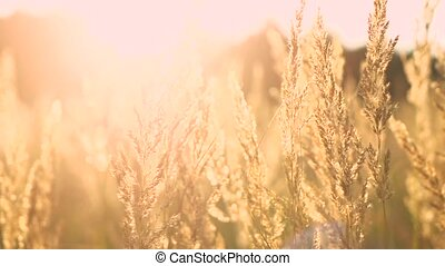 Field of feather grass at sunset