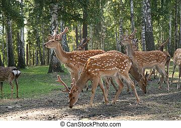 DEER Cervus elaphus graze in the forest