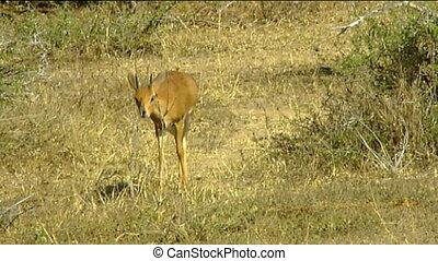 Male steenbok Kruger park - Male steenbok (Raphicerus...
