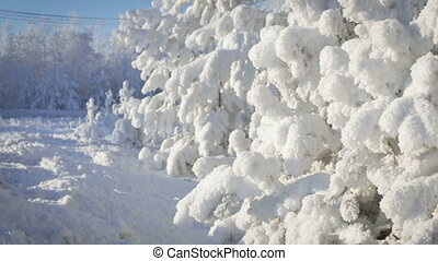 Close up of snow covered pine tree with snow falling.