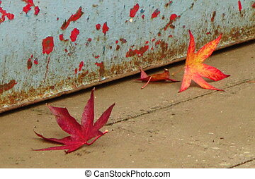 Sweet Gum Leaves - Orange and red sweet gum (liquidambar)...
