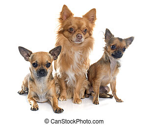 chihuahuas in studio - purebred chihuahuas in front of white...