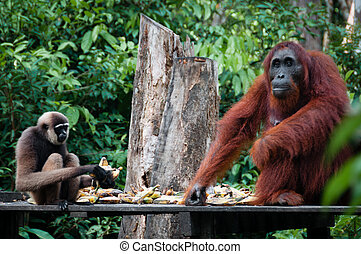 Gibbon and a Orangutang sitting eating together - Gibbon and...