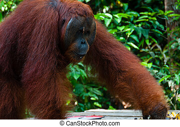 Orang Utan alpha male standing in Borneo Indonesia,...