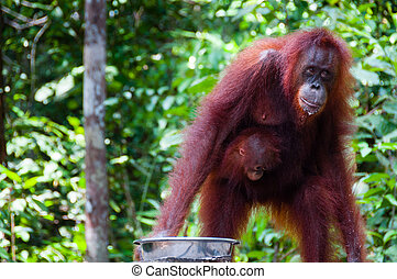 Female Orang Utang with baby in jungle of Borneo,...