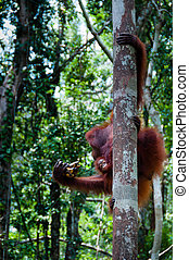 Orang Utan sitting on a tree in the jungle, Indonesia -...