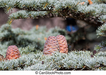 Lebanese cedar pinecone in the forest in mountains, Turkey -...