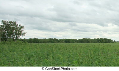 Movement of clouds over the hemp field, Full HD
