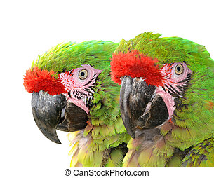 Military macaw Ara militaris mexicana isolated on white...