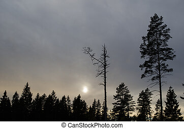 Mystique forest silhouettes - Pine tree snag and a living...