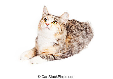 Adorable Calico Kitty Looking Up - Cute little Calico breed...