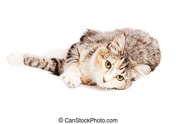 Beautiful Calico Kitty Laying Looking Forward - Cute little...